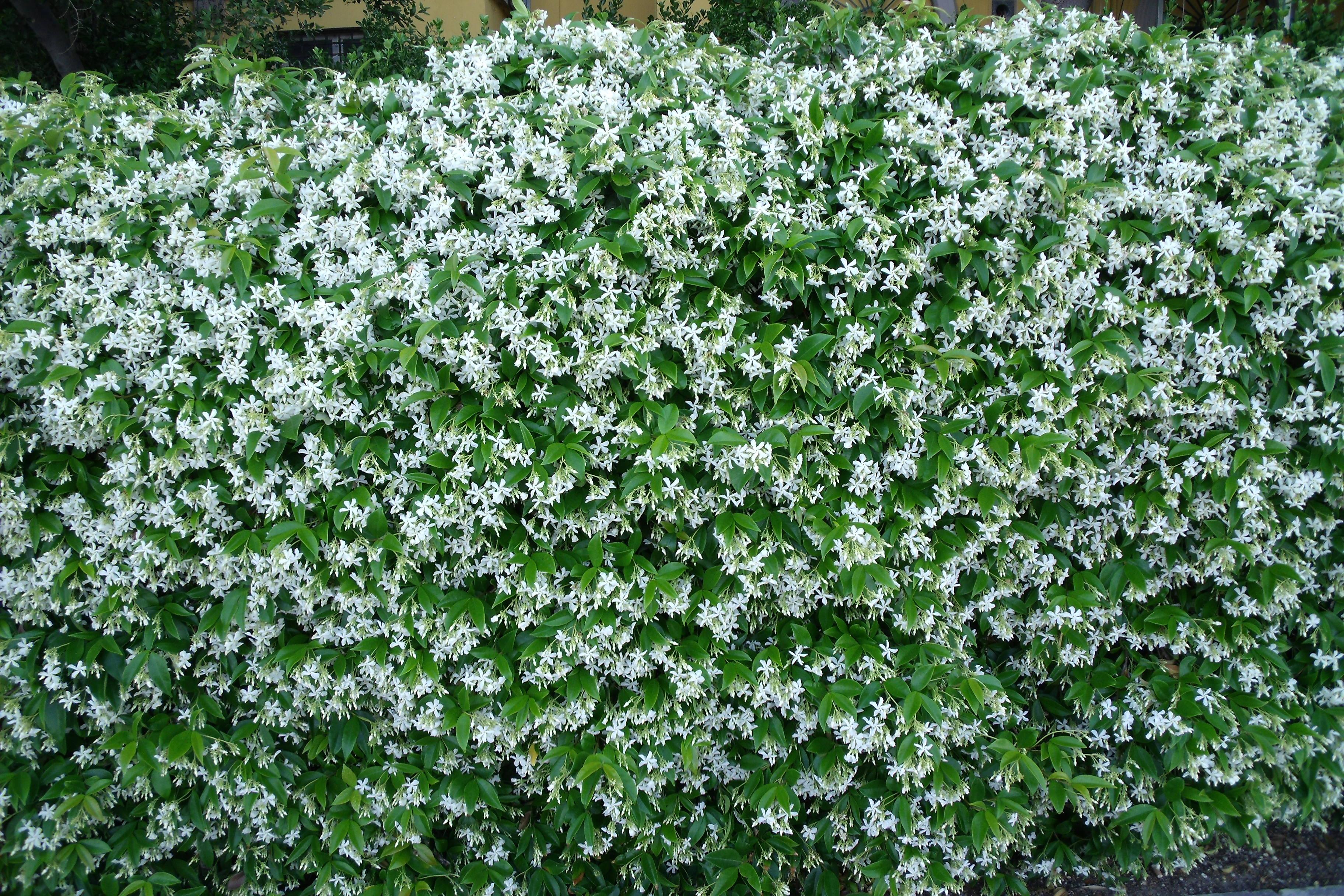Promessa fatta winckelmann in venedig - Grossi fiori da giardino ...